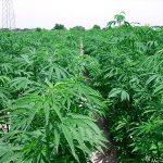 Cannabis, si estende l'uso medico