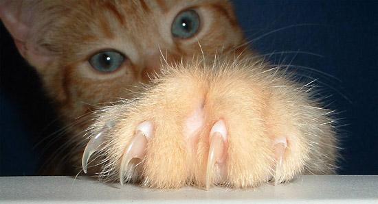 gatto-graffi, malattia del graffio