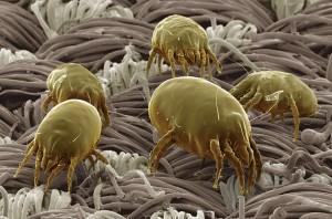 acari-tessuti, allergie, acari, antibiotici