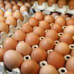 Salmonella, ritirate e distrutte 21 tonnellate di uova
